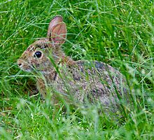 Nature photo of rabbit by crazylemur