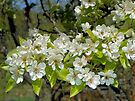 Pear Blossoms by BettyEDuncan