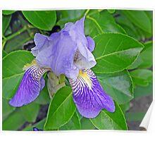 Singular Iris Poster