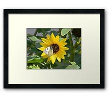 Sunflower and Sunflower Seed Head Framed Print