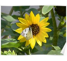 Sunflower and Sunflower Seed Head Poster