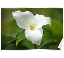 White Trillium Wildflower Art Poster