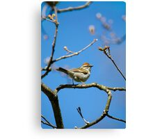 Chipping Sparrow in a Tree Canvas Print