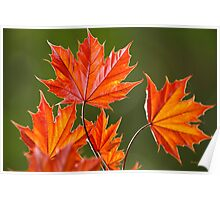 Red Maple Leaves Abstract Art Poster