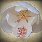 Magnolia by NIKULETSH