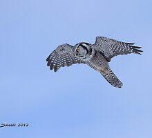 View Of A Hawk Owl by Trish Sweett