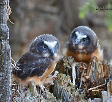Saw-whet Owlets by Trish Sweett