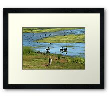 Swans and Ducks Framed Print