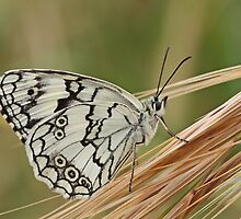 Marbled White by Robert Abraham