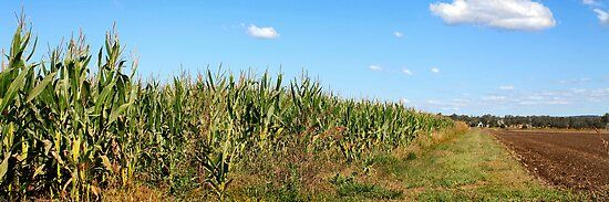 Rural Australia - Corn Crop in the Country by Sea-Change