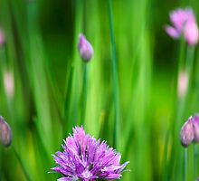 Garden Chives by Christina Rollo