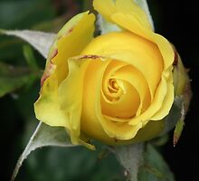 Rose Bud in Yellow by MyPixx
