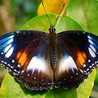 Female Varied Eggfly by peasticks