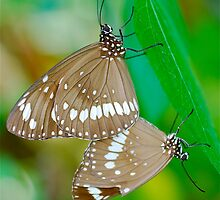 Common Crow Butterflies Mating by peasticks