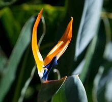 Bird of Paradise by Maria  Varlet