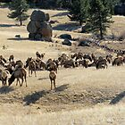 Elk In Estes Park by James Hogarth