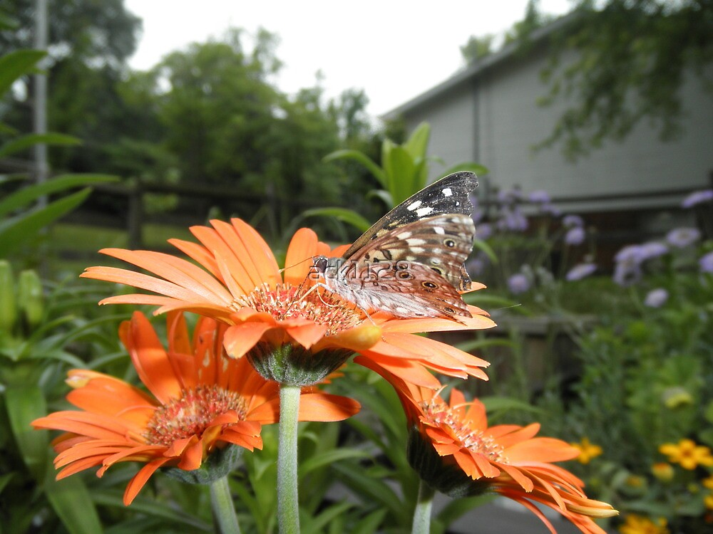 Painted Lady  Butterfly On Gerber Daisy Flower by ack1128