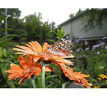 Painted Lady  Butterfly On Gerber Daisy Flower Photographic Print
