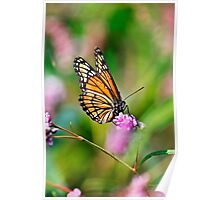 Colorful Viceroy Butterfly Poster