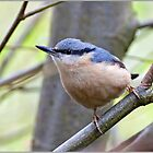 Nuthatch by PHILI