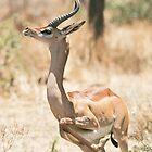 Gerenuk 1 by David Clarke