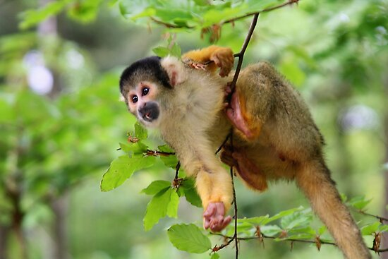 Curious Squirrel Monkey by Jo Nijenhuis