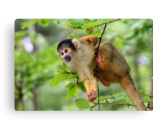 Curious Squirrel Monkey Canvas Print