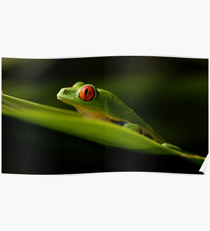 Red Eyed Tree Frog 1 Poster
