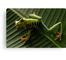 Red Eyed Tree Frog 2 Canvas Print
