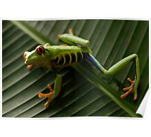 Red Eyed Tree Frog 2 Poster