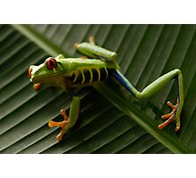 Red Eyed Tree Frog 2 Photographic Print