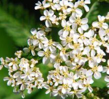 Yarrow Flower Sticker