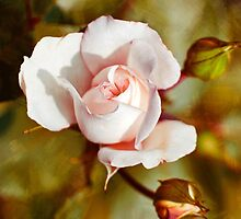 Antique Rose Art by Christina Rollo