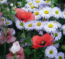 Daisies With The Poppy  by J Bonanno