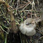 Fluffy Sparrow by MyPixx