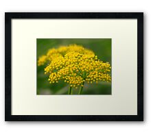 Prairie Parsley Framed Print