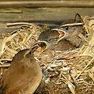 Wren Chicks Feeding on A Peebles Allotment by photobymdavey