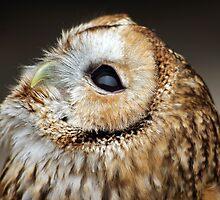 Tawny owl gazing skywards by David Alexander Elder