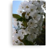 Cherry fruit tree blossoms Canvas Print