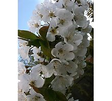 Cherry fruit tree blossoms Photographic Print