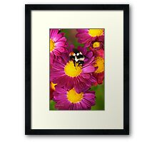 Red Tailed Bumble Bee Framed Print
