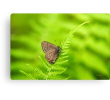 Banded Hairstreak Butterfly Art Canvas Print