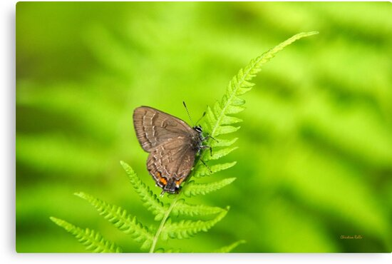 Banded Hairstreak Butterfly Art by Christina Rollo