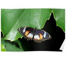 Common Egg Fly Butterfly Poster