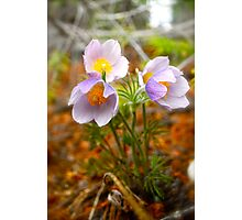 Prairie Crocus - Wildflowers of Alberta Photographic Print