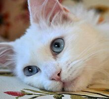 Portrait of A Blue Eyed Van Cat by taiche
