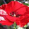 Red Poppy Macro by taiche