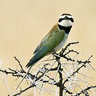 White-throated bee-eater checking out the Canon by David Clarke
