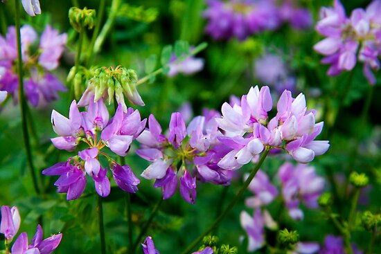 Crown Vetch by BluePhoenix