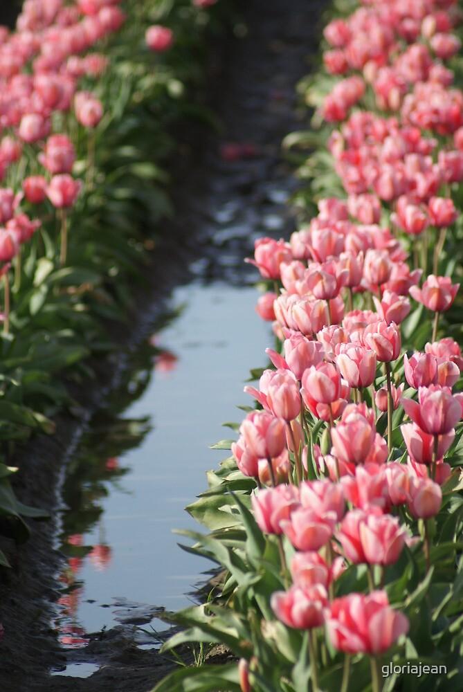 Tulip Field by gloriajean